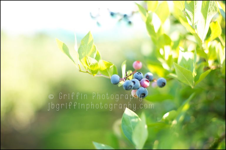 Virginia Beach Pungo Blueberries